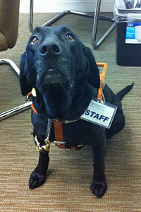 Photo of Paige, a black lab wearing her working harness and a STAFF badge